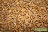 Constantly buying oats, barley, wheat forage