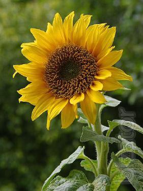 Sunflower seeds pioneer,Syngenta,sunflower(original).