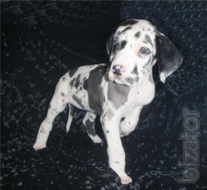 Great Dane puppies. Marble male.