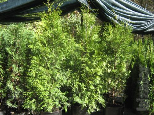 Arborvitae,thuja Kiev to buy,thuja price, hedges, conifers