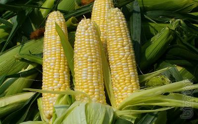 Buy Buy Sell seeds, sunflower seeds price, maize seed price. In Ukraine wholesale