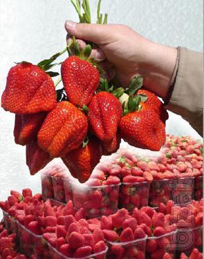 Strawberry seedlings the best everbearing varieties from European nurseries
