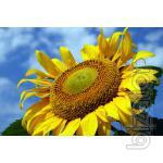 "Sunflower seeds PR63A90 ""Pioneer"" (PR-VA Austria)"