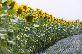 "Sunflower seeds P63LL01 ""Pioneer"""