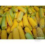 "Corn seeds PR39D81 ""Pioneer"""