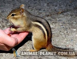 Manual squirrels and burunduki. There are adult pair for captive content