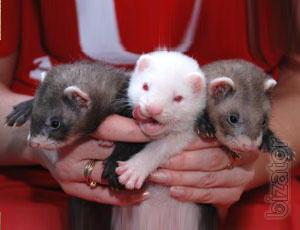Decorative ferret - manual puppies kids, different colors