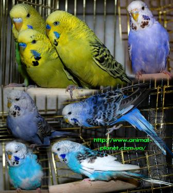 Hand-wavy parrots, Exhibit Czechs and other small breeds