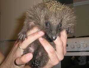 Manual of European decorative hedgehog