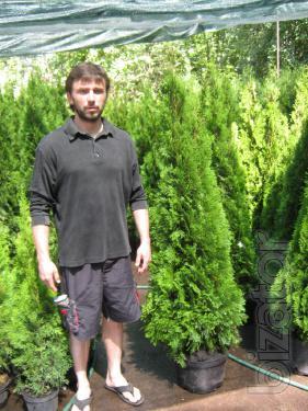 Arborvitae, thuja occidentalis Smaragd 140-160 cm, conifers