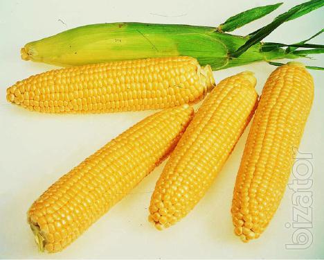 Seeds of maize hybrids F-1,corn.Cheap!