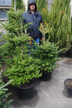 Fir Kiev to buy. The Korean fir. Fir Of Nordmann. Coniferous trees Kiev to buy.