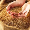 Sunflower, wheat, barley