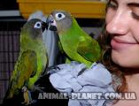 Senegal, Aratinga and Chinese ringed parakeets