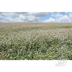 "Seeds buckwheat sort of ""Nine"", ""Antaria"", ""Ukrainian"" - 1 Reprod."