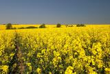 Buy barley,wheat,millet, corn,soybean,sunflower,mustard,peas,canola,and flax.