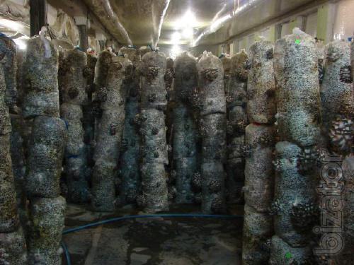 the mycelium of the mushroom shiitake mushroom blocks mushrooms Kirovograd