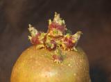 High quality potato seeds German selection.