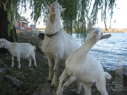The goats.Goats breeding. The goat. Panenska,Lamancha.Obtrusive kids.To mating.
