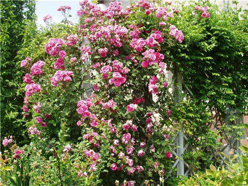 Rose climbing - seedlings