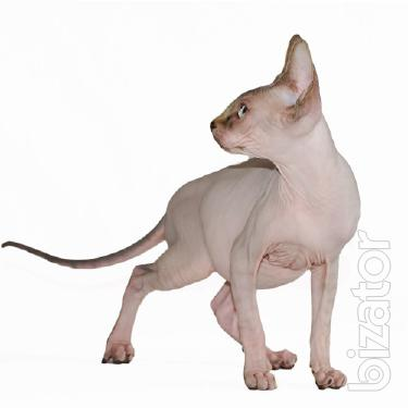 The mating. Canadian Sphynx.