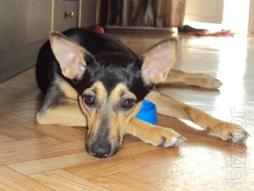 Shan(Chanel)-1 year, energetic, Metis). toy Terrier.