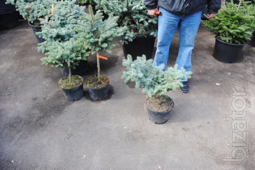 Spruce, blue spruce, spherical spruce, Glauca Globosa, blue spruce Kiev to buy