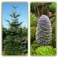 Fir,Fir Kiev to buy,Abies koreana,silberlocke Fir,Korean Fir