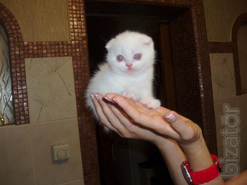 Stunning white lop-eared kitten.