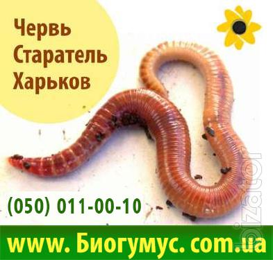 Breeding stock Worm Prospector. The breeding. The production of vermicompost. Eco-Business