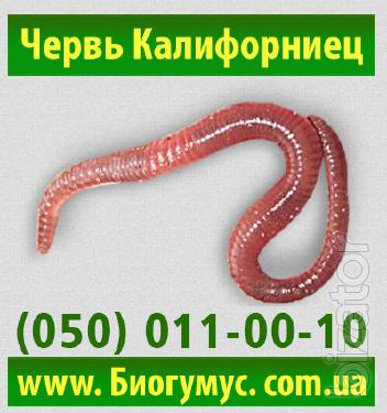 Buy red Californian worm for the production of vermicompost.