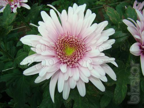 The cuttings of chrysanthemum