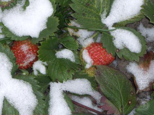 Seedlings strawberry everbearing and single fruiting.