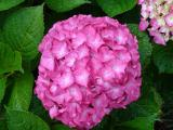 Sell large-leaved hydrangea