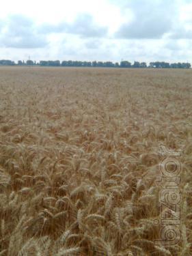 Seeds of winter wheat Polesie 90