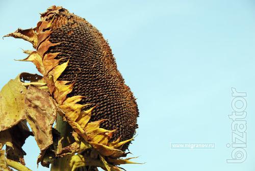 sunflower NK Brio / intermediate (wing 112-116 days)