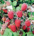 Will sell seedlings raspberry Phenomenon, Phoenix, Maria, Arbat, Abundant, Polana, Heritage, Maroseika, Gusar, Fortress, Within...