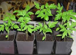 Buy Cassette Seedlings of Vegetables (for 2013).