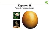 Varieties of potatoes Cartop