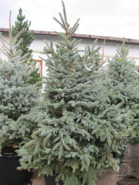 Spruce,blue spruce, blue spruce Kiev to buy, sell blue spruce