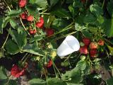 Strawberry seedlings once fruiting varieties Benicia and other varieties