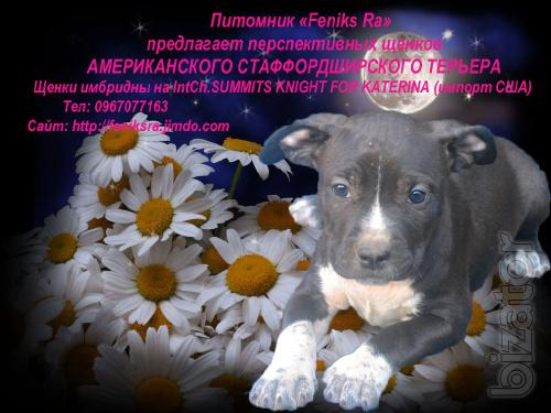 """Kennel """"Feniks Ra offers puppies AST"""
