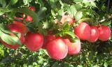 Seedlings of Apple,cherry,pear,peach,plum,apricot from the manufacturer!