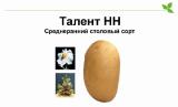 Seed potatoes Talent