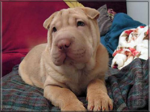 Shar-Pei, puppy puppies!