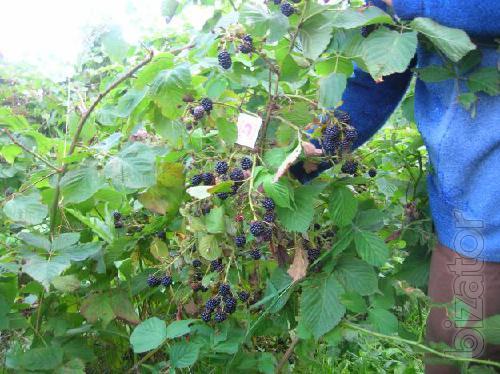 Will sell seedlings raspberry and BlackBerry
