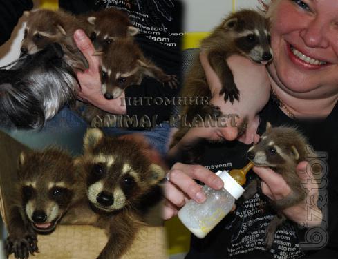 Raccoons-polecany - funny Pets