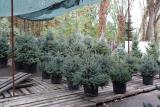 Blue spruce 1.2-1.5 m Kiev to buy. Blue spruce Kyiv price sale Kiev