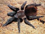 Sell tarantulas