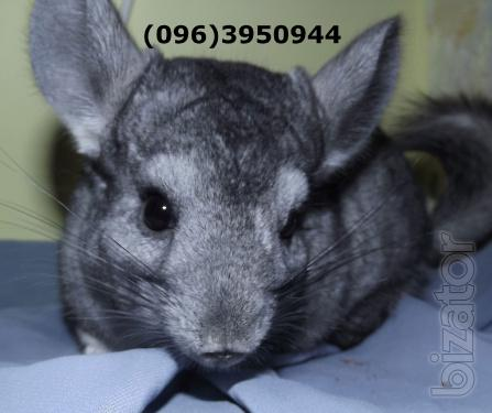 Sell chinchillas with home kennel